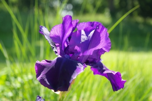 iris_flower_dark_purple_230962